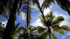 Bayahibe (thegoldsaint) Tags: sea sun dominicanrepublic carribean playa palmeras ron palmtrees rum palmae palme santodomingo antilles laromana caribe palmas saona rhum bayahibe caraibi repblicadominicana antille antillas repubblicadominicana pinovolpe thegoldsaint