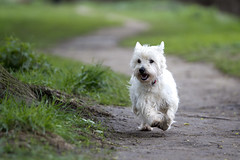 Hamish (kirsten.cooper) Tags: york west river westie terrier highland tamron ouse 70200 f28