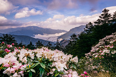 Taiwan Alpine Rhododendron (JFLI0325) Tags: leica landscape taiwan m asph cpl  21mm  2016 landscapephotography   07k  superelmar