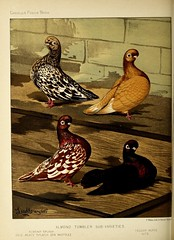 n185_w1150 (BioDivLibrary) Tags: pigeons fieldmuseumofnaturalhistorylibrary bhl:page=49799053 dc:identifier=httpbiodiversitylibraryorgpage49799053