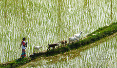 herding goats (Ivo De Decker back from holiday) Tags: travel nepal reflection water reflections landscape goat goats ricefields nepali nepaligirl ivodedecker