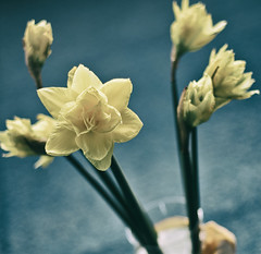 White Narcissus Square (Gabriele Diwald) Tags: blue white background blurred vase narcissus