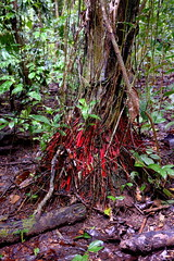 Red roots of tree near Tambopata Research Center in Peru-01 5-31-15 (lamsongf) Tags: travel peru southamerica tambopata amazonbasin