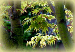 Acer leaves Explored (Jane.Des) Tags: new green leaves garden japanese spring maple growth acer