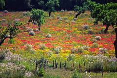 Blumenwiese (blacky_hs) Tags: flower meadow wiese blumen mallorca mohn