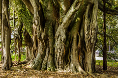Old tree roots (firstfire53) Tags: newzealand devonport