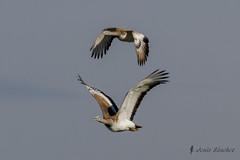 Avutarda (Otis tarda) (jsnchezyage) Tags: naturaleza bird fauna birding ave vuelo otistarda avutarda