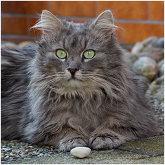 Look, I have found a pebble ! (FocusPocus Photography) Tags: pet animal cat chat gato katze haustier kater tier fynn fynnegan