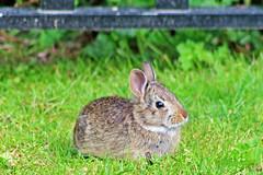 Juvenile Rabbit 16-0426-8948 (digitalmarbles) Tags: canada rabbit bunny nature grass animal bc britishcolumbia wildlife young tan ears newborn juvenile lowermainland deltabc wildlifephotography canonef75300mmf456usm canoneosrebelt5