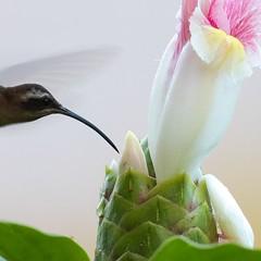 Little Hermit Hummingbird (Kamal50) Tags: wild flower green bird nature beautiful look canon wonder countryside wings hummingbird bokeh wildlife flight beak feather nectar caribbean ecofriendly ecotourism westindies canoneos7dmarkii ef100400mmf4556lisiiusm littlehermitphaethornislonguemareus