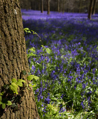 It's Not All About the Bluebells (don't count the pixels) Tags: flowers bluebells woodland spring woods wildflowers nationaltrust springtime greyscourt
