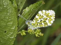 Butterfly - Orange-tip (Prank F) Tags: macro male nature closeup butterfly insect wildlife wildlifetrust orangetip glapthorncowpastures northantsuk