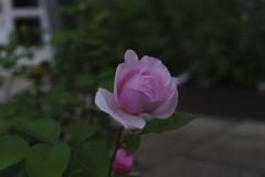 _DSC2048 (Osamu1965) Tags: flower japan zeiss garden spring sony contax jp   okayama     a7m2  carlzeissvariosonnart2870mmf3545mm