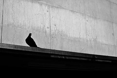 Coo, To You (leftyguk) Tags: blackandwhite pigeon coventry westmidlands sigma30mm14 canon760d