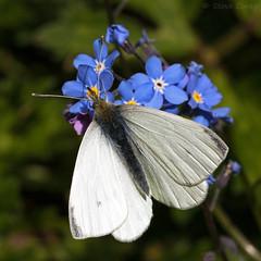 Small White (Pieris rapae). (od0man) Tags: uk white macro butterfly insect spring swindon lepidoptera wiltshire pest pierisrapae cabbagewhite smallwhite pieridae liden canonef100mmf28lisusmmacro