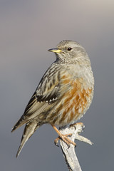 Cercavores (Prunella collaris) (Aicbon) Tags: verde bird ave montserrat pajaro pajarito ocell santjeroni ocellet cercavores prinellacollaris