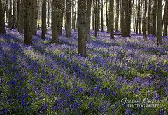 Carpet of Bluebells (gracust) Tags: nature bluebells sunrise landscape chilterns serene bluebell tranquil hertfordshire ashridge bluebellwoods