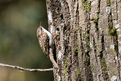 Treecreeper (Steve Balcombe) Tags: uk bird somerset treecreeper rspb certhia familiaris swellwood