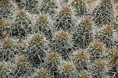 Echinocereus triglochidiatus (claret-cup cactus) 5 (James St. John) Tags: cactus cup claret echinocereus triglochidiatus