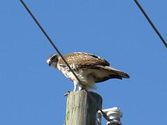 Red-tailed Hawk - Texas by SpeedyJR (SpeedyJR) Tags: nature birds texas wildlife hawks redtailedhawk nwr anahuacnationalwildliferefuge anahuacnwr nationalwildliferefuges chamberscountytexas speedyjr ©2015janicerodriguez