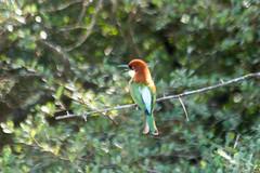 Chestnut-headed Bee-eater (NKSwampie) Tags: bird srilanka 2015 chestnutheadedbeeeater 14thdecember wisebirding