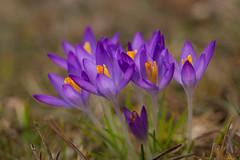 Spring in January (++sepp++) Tags: flowers macro closeup germany de bayern deutschland bavaria spring blumen makroaufnahme makro garten macroshot nahaufnahme krokus frhling graben