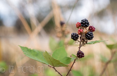 early autumn.... (Liz McMahon) Tags: wild plant dof blackberry bokeh roadside 46 52in2016