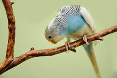budgie (koko2twins) Tags: blue pet color bird nature animal fauna funny little small wing beak young feather vivid parrot chick exotic breeding budgerigar budgie tropical amusing lovebird tame roost plume plumage companionship feathering wildwildlife