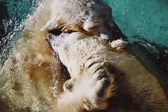Untitled-12 (ucumari photography) Tags: 2003 bear animal mammal zoo oso nc december north polarbear carolina willie willy masha eisbär wilhelm ursusmaritimus シロクマ oursblanc osopolar 北极熊 ourspolaire orsopolare jääkarhu 북극곰 ucumariphotography ísbjörn niedźwiedźpolarny полярныймедведь الدبالقطبي