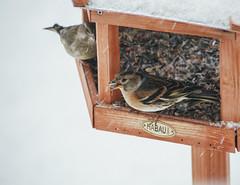 Bergfink (claudiarndt) Tags: schnee winter snow bird birdhouse vogel bergfink vogelhaus brambling
