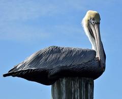 Brown Pelican (Pelecanus occidentalis) (ACEZandEIGHTZ) Tags: bird pelican brown fisheating coth platinumheartaward rainbowofnature nikon d3200 closeup macro nature frameit wildlife naturescarousel ngc saariysqualitypictures birdwatcher