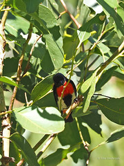 Mistletoebird (Vas Smilevski) Tags: bird birds feathers australia nsw australianbirds westernsydney dicaeumhirundinaceum mistletoebird nectariniidae mc14 olympusomdem1 mzuiko40150mmf28pro