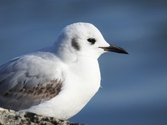 Bonaparte's Gull (Chroicocephalus philadelphia) (Nature In a Snap) Tags: bird philadelphia nature closeup point wildlife gull jetty birding nj inlet birdwatching 2016 manasquan bonapartes ppb chroicocephalus