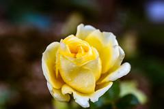 another survivor (lumofisk) Tags: water rain rose yellow 50mm wasser january drop flowering regen januar tropfen blooming blühend 0mmf0 nikondf