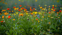 Ramna (Zahid ( At sea now with a super slow net. Thanks f) Tags: flowers trees plant colors garden blossom bokeh outdoor depthoffield foliage cosmos