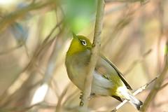 Japanese White-eye (myu-myu) Tags: bird nature japan nikon japanesewhiteeye zosteropsjaponicus d800  wildbird   afsnikkor300mmf4epfedvr