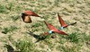 Bee-eaters flying with the safari-landcruiser