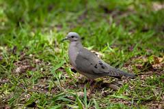 Eared Dove (Zenaida auriculata) (Sergey Pisarevskiy) Tags: southamerica argentina birds wildlife birdwatching wildnature eareddove zenaidaauriculata
