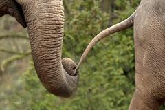 Asiatic elephants (K.Verhulst) Tags: elephant elephants amersfoort olifanten dierenparkamersfoort asiaticelephants aziatischeolifanten