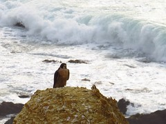 beautiful peregrine falcon at point vicente (10) (gskipperii) Tags: ocean water beautiful animal fauna dark pretty waves wildlife gorgeous tide pacificocean raptor falcon oceanview pv regal peregrine stately palosverdes darkmorph pointvicente rpv