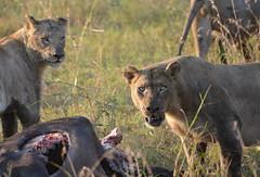 Lions at a Buffalo Kill, Hluhluwe-Imfolozi  National Park, South Africa (ott.geoffrey) Tags: southafrica nationalpark kill wildlife pride safari lions imfolozi hluhluwe