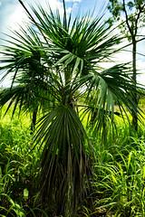 Livistona humilis (Sand Palm) (betadecay2000) Tags: plant flower tree green fleur bush pflanze pflanzen australian australia palm palmtree australien grn humilis bume palme baum busch australie bloem topend austral savanne livistona regenzeit livistonahumilis