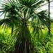 Livistona humilis (Sand Palm)