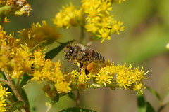 A honey bee working on flowers of the Canadian goldenrod II. (Bienenwabe) Tags: autumn goldenrod bee pollen honeybee asteraceae biene autumnflowers apis pollenbasket apiaceae honigbiene solidago apismellifera goldrute solidagocanadensis canadiangoldenrod kanadischegoldrute yellowpollen