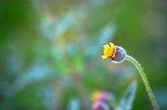 pequeñita amarilla (rosatifamadelrio) Tags: fave30