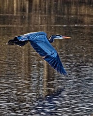 Hello, I Must be Going (brev99) Tags: bird heron reflections pond photos ngc flight wing wingspan greatblueheron birdinflight d7100 ononesoftware topazdenoise tamron70300vc highqualityanimals perfecteffects9