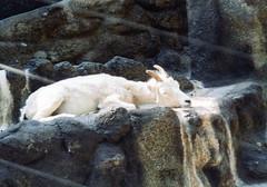 Alaskan Dall Sheep, San Diego Zoo (Animal People Forum) Tags: animals zoo sheep sandiego captive sandiegozoo mammals dall captivity alaskan dallsheep alaskandallsheep