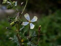 Flor en Carnaval 2 (Luicabe) Tags: planta ngc flor campo luis botnica zamora cabello profundidaddecampo airelibre macrofotografa yarat1 enazamorado luicabe