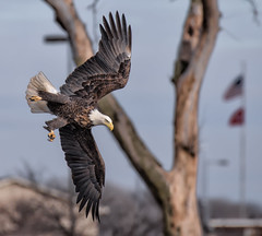 Winter Eagles at Lock 14 (Jan Crites) Tags: winter bird nature river nikon eagle symbol wildlife baldeagle iowa raptor mississippiriver americanbaldeagle d610 leclaireiowa jancritesphotography nikon200500mm
