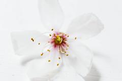 Cherry Flower (hoykimberley) Tags: white flower macro beautiful closeup cherry pretty beaty cherryflower nikond3200